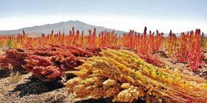 cereal de la quinoa